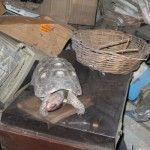 Termite Control Chandler: Tortoise Survives on Termites
